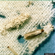 Life stages of the clothing moth: eggs, larvae and adult moth. From USDA Cooperative Extension Slide Series.